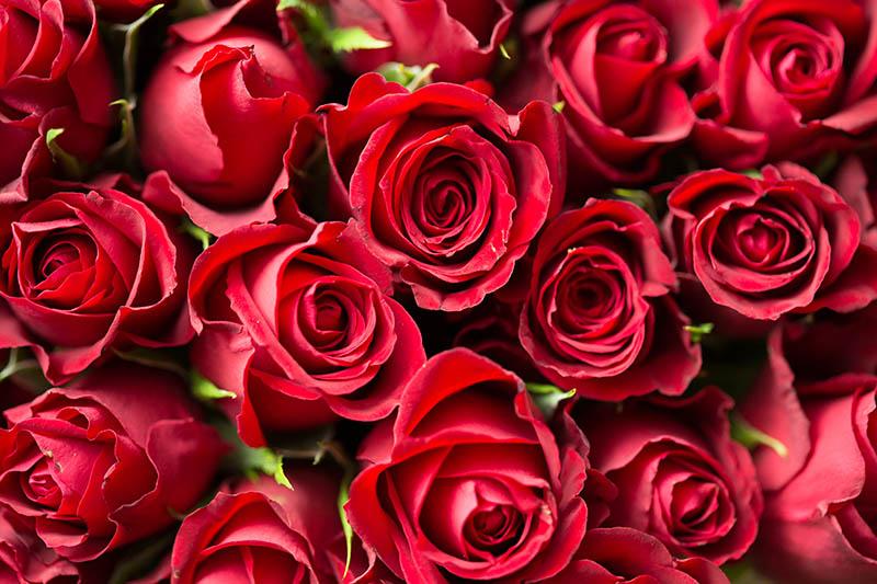 Hoa hồng Dà Lạt