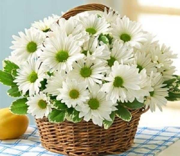 Hoa cúc tặng sinh nhật mẹ