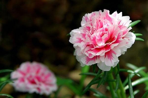 Hoa cẩm chướng tăng sinh nhật mẹ
