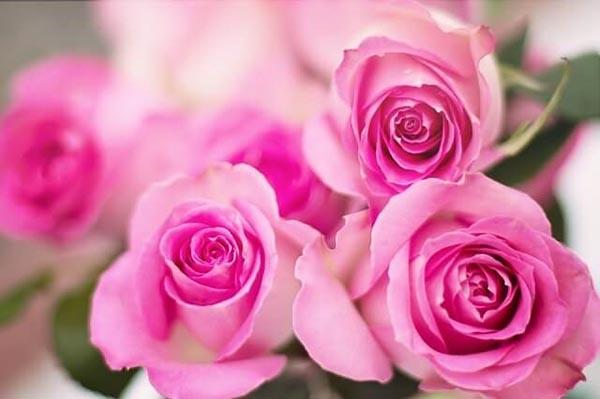 Hoa hồng hạt