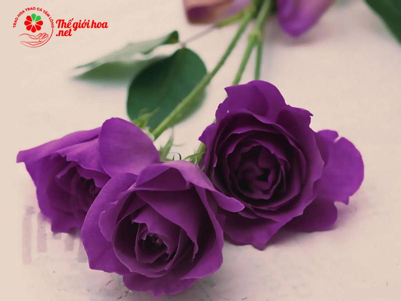 Bông hồng tím
