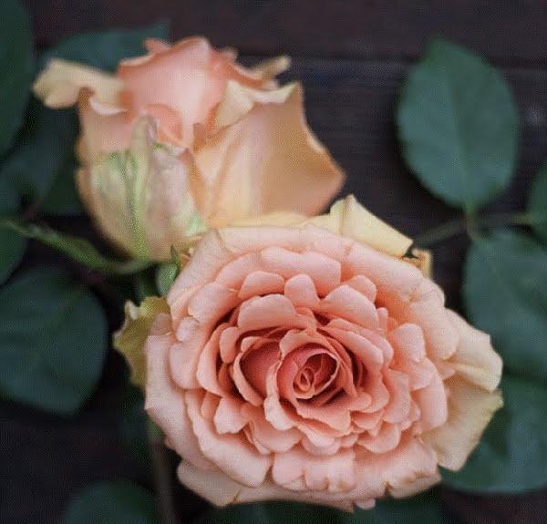 Hoa hồng Ecuador màu hồng đào