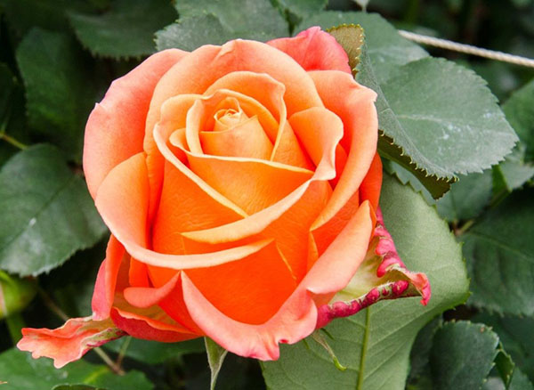 Hoa hồng Ecuador cam