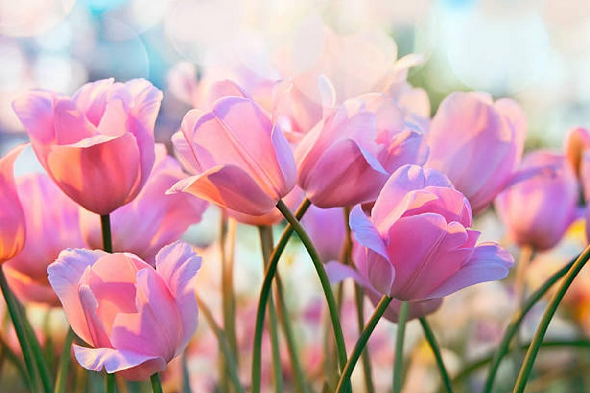 hoa tulip kem
