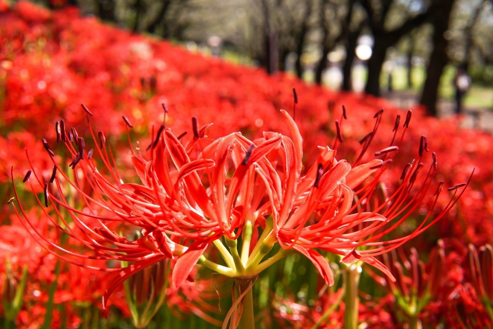 lưu ý khi trồng hoa bỉ ngạn