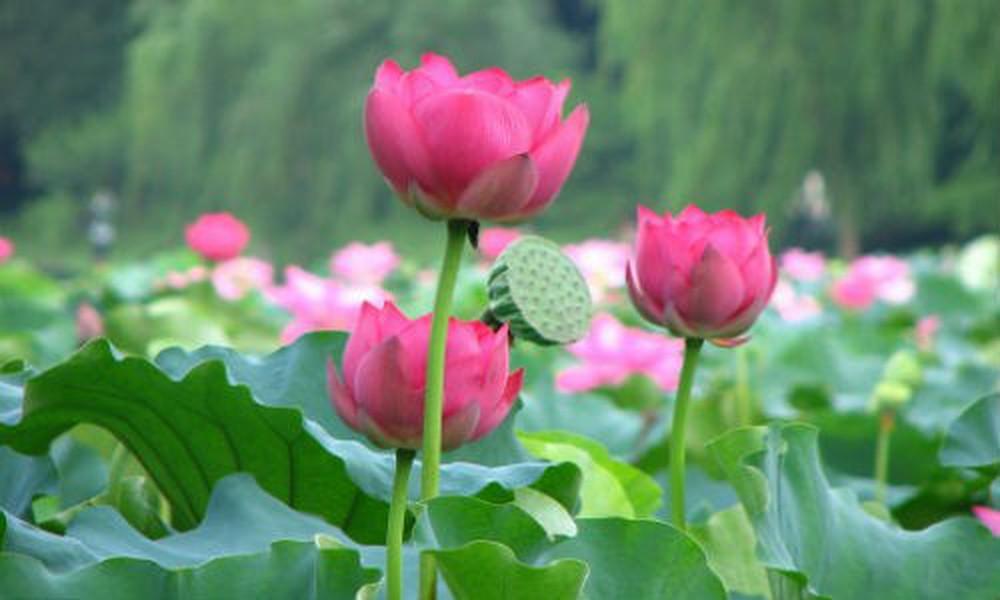 đặc điểm của hoa sen