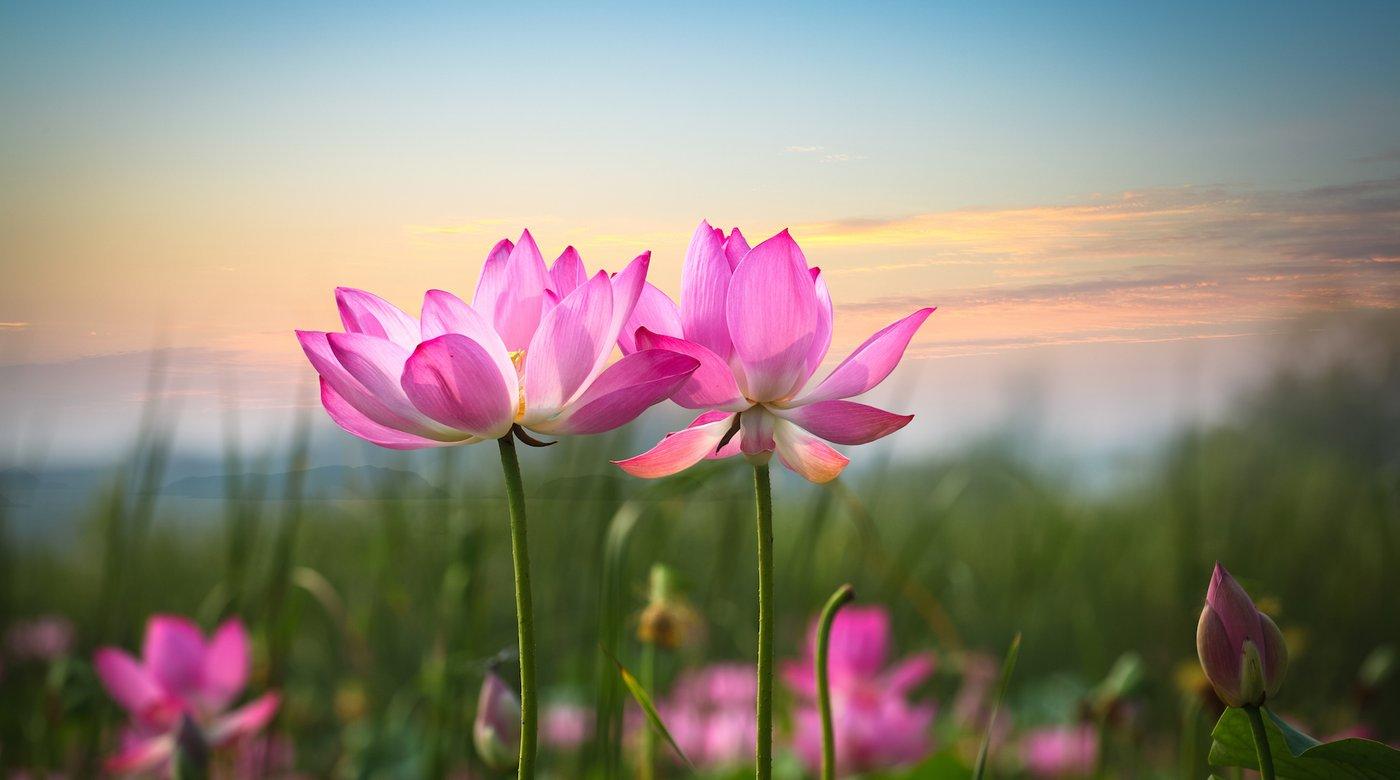 ý nghĩa hoa sen qua màu sắc