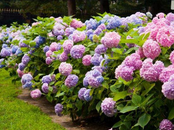 đặc điểm hoa cẩm túc cầu