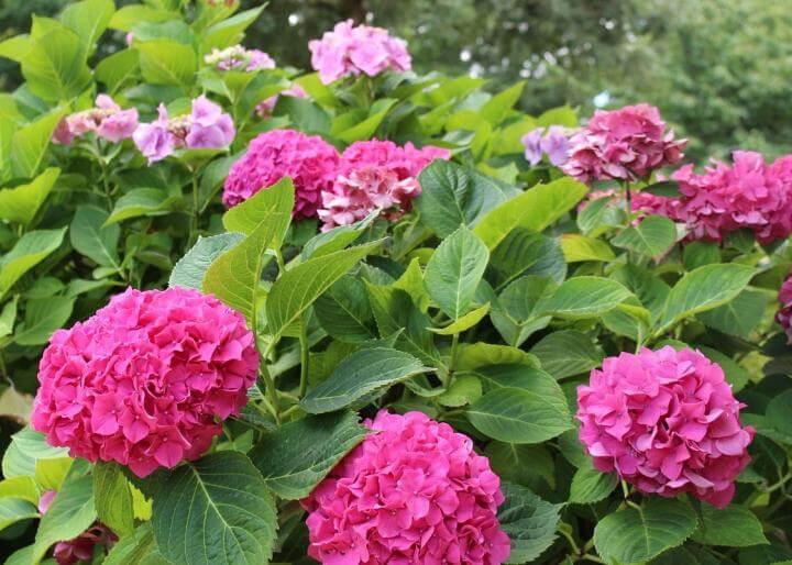 hoa cẩm tú cầu đỏ