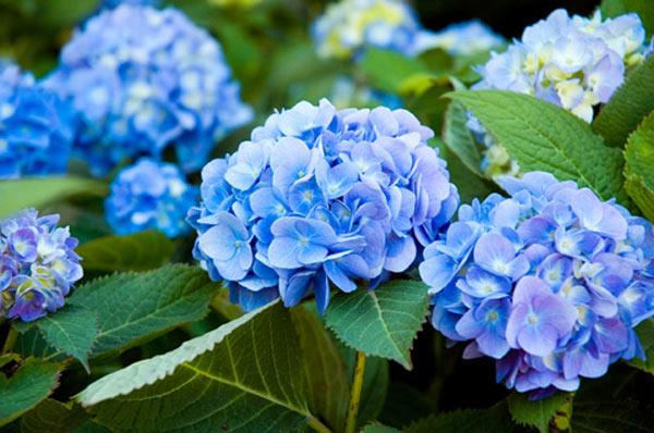ý nghĩa hoa cẩm tú cầu màu xanh