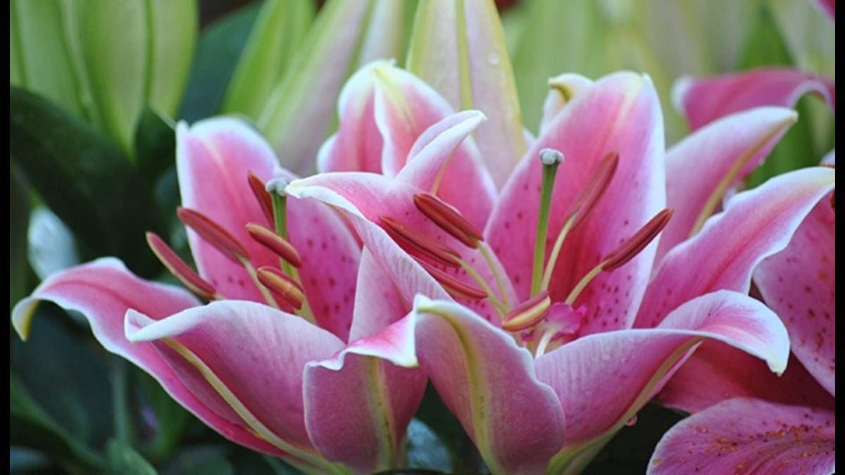 ý nghĩa của hoa lily