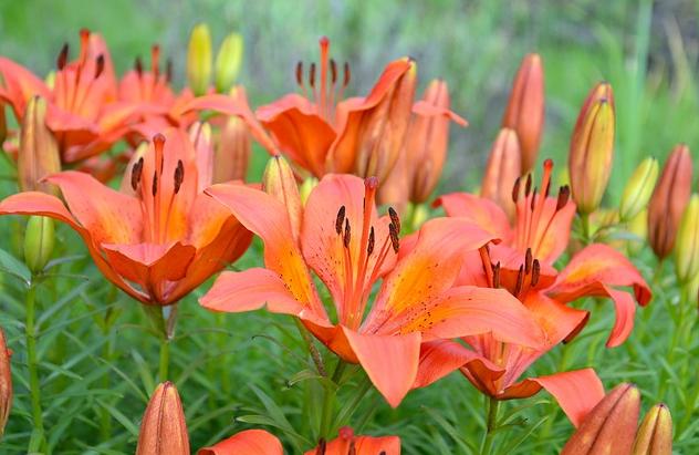 lưu ý khi trồng hoa ly