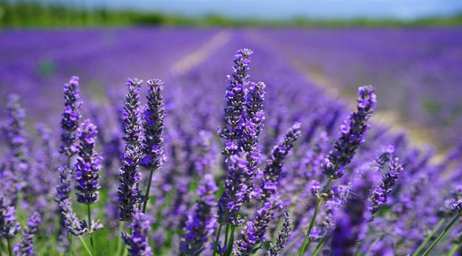 sự tích hoa lavender