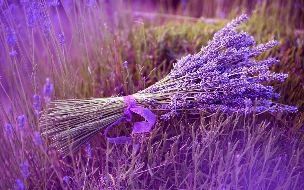 ý nghĩa hoa lavender