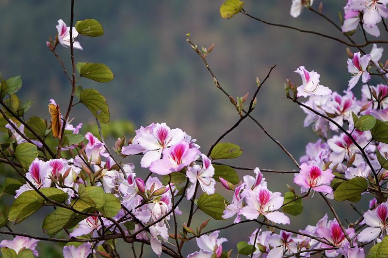 ngắm hoa ban ở đâu