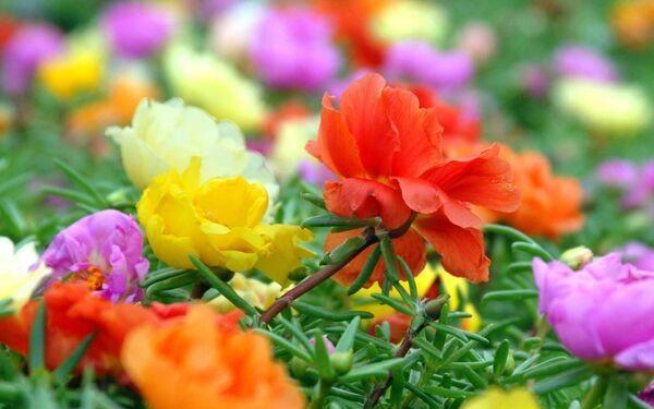 công dụng của hoa mười giờ
