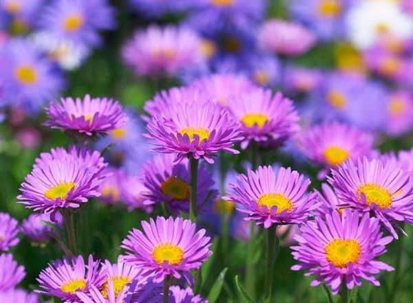 các loại hoa thạch thảo