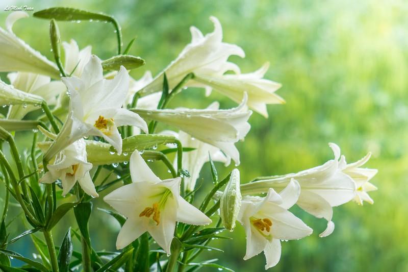 hoa loa kèn