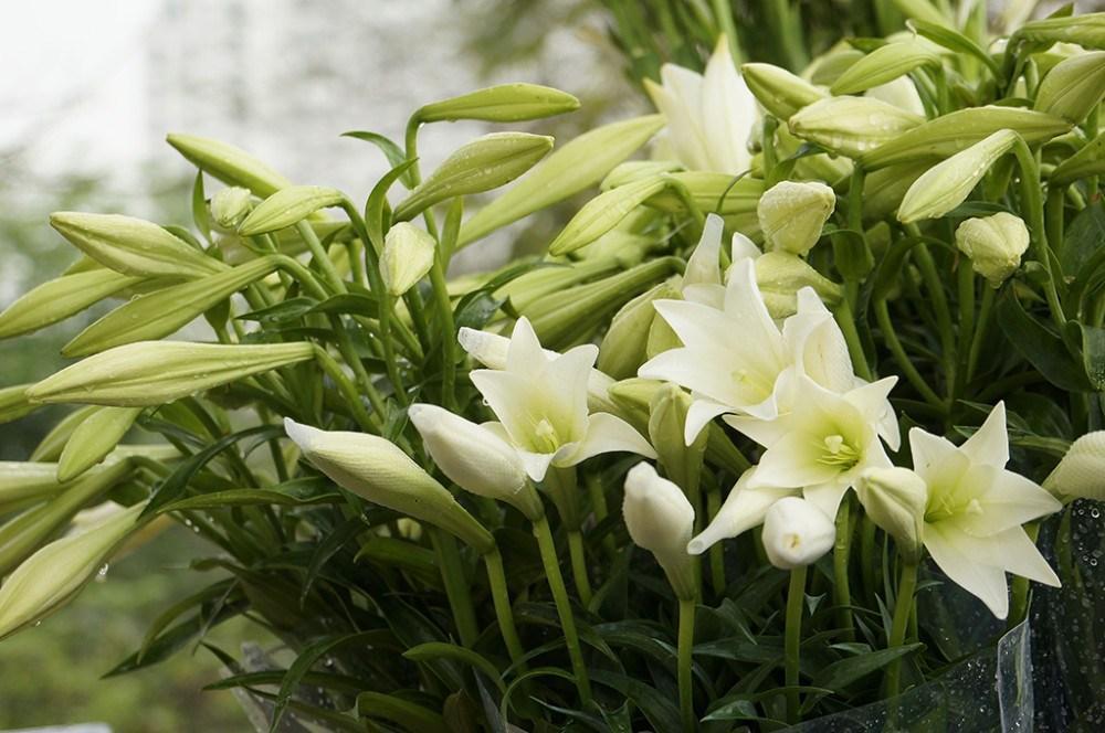 hoa loa kèn đẹp