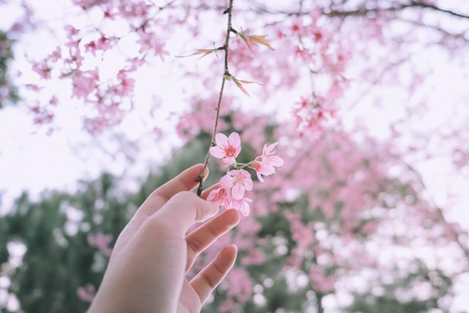 hoa anh đào tuyệt đẹp
