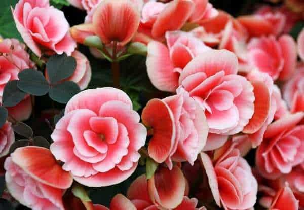 ý nghĩa của hoa hải đường trong phong thủy
