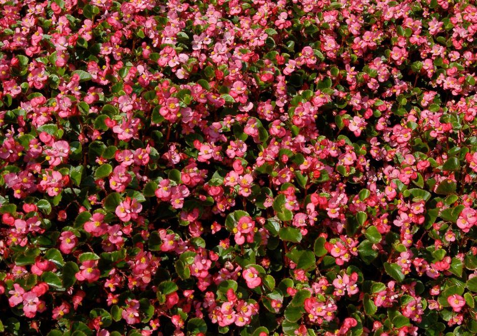 vườn hoa hải đường
