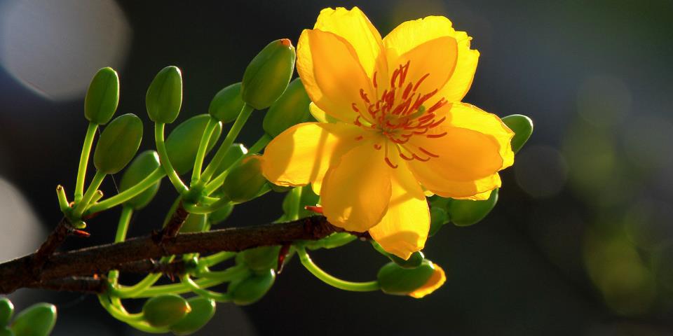 hoa mai tại việt nam