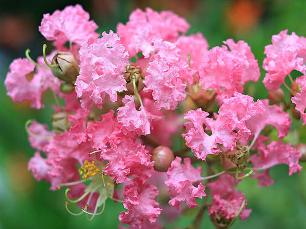 hoa tường vi