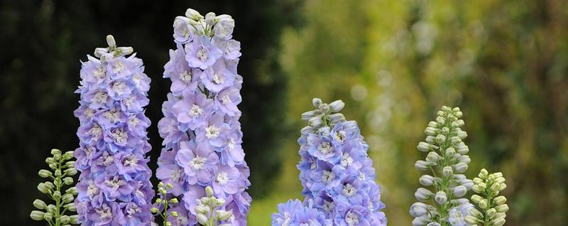 đặc điểm của hoa phi yến