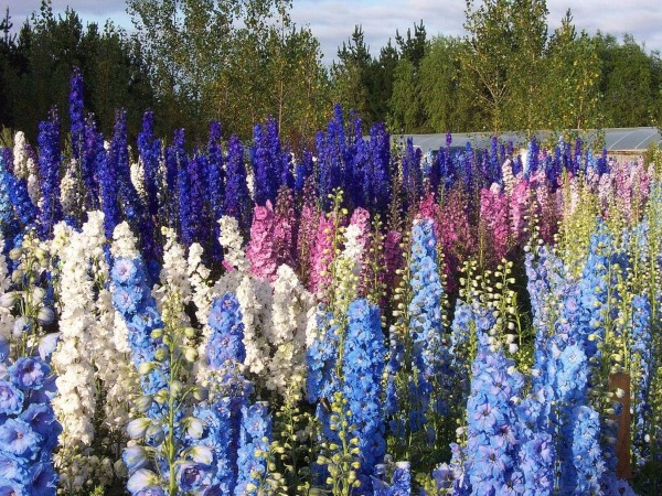hoa phi yến nở rộ