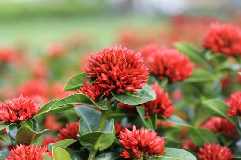 hoa trang - hoa mẫu đơn việt nam