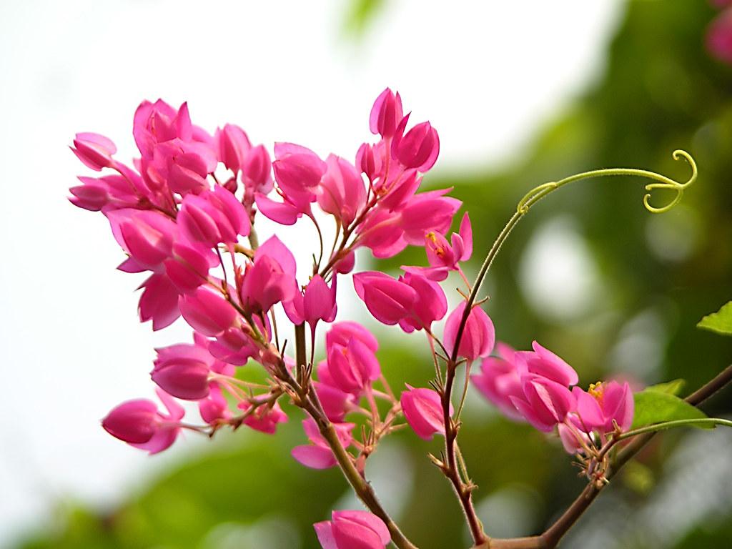 hoa ti gôn