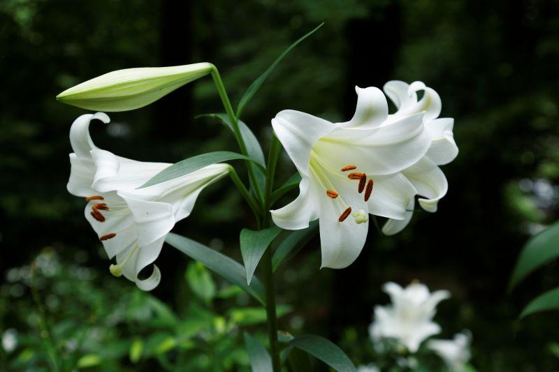 ý nghĩa của hoa bách hợp