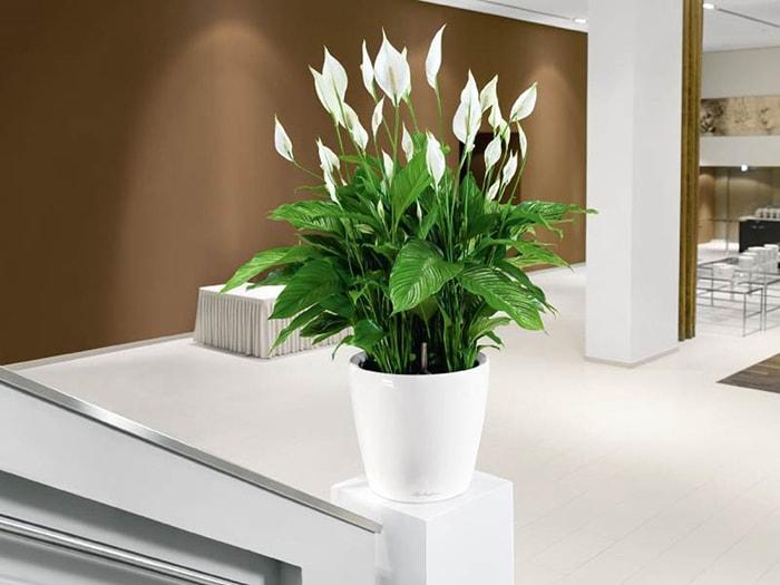 cây hoa bạch môn