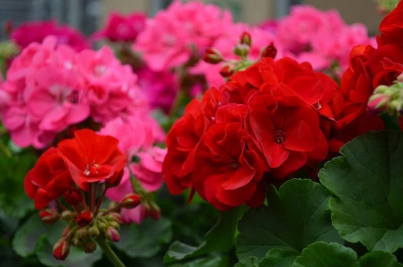 hoa phong lữ thảo
