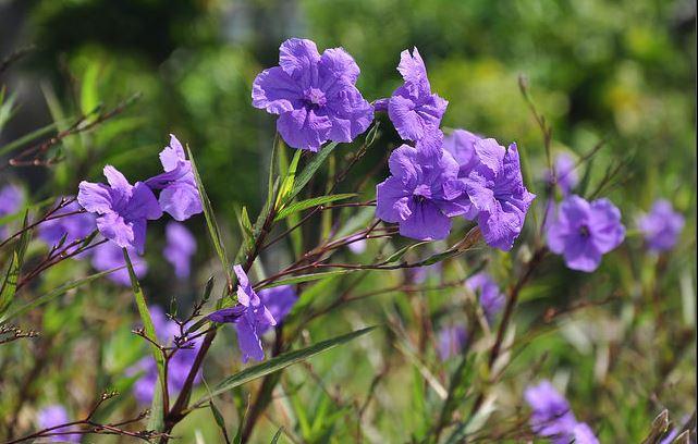 ý nghĩa hoa chiều tím
